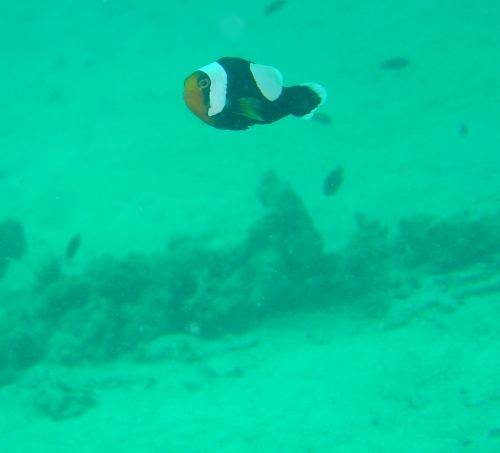 Clownfish Nemo outside Koh Tao