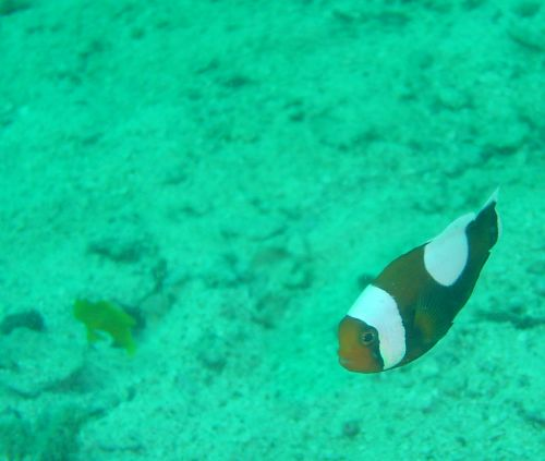 Clownfish Nemo outside Koh Tao again