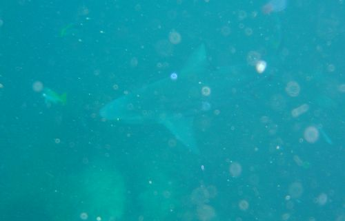 Another shark at Chumphon Pinnacles