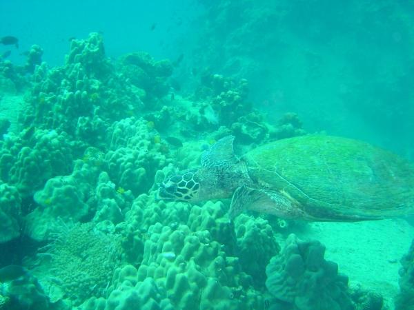 Turtle at Koh Tao