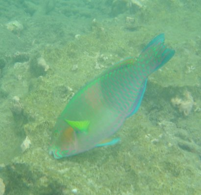 Parrotfish eating outside Koh Chang
