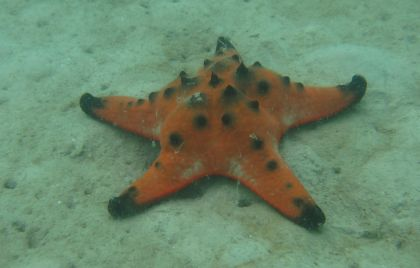 A Sea Star / Starfish found outside Koh Rung Samloem, Cambodia