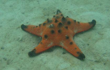 A Sea Star / Starfish found outside Koh Rung Samloem, Cambodia