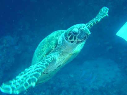 Sea Turtle at Gordon Reef, Straits of Tiran