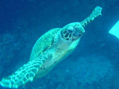 Sea Turtle at Gordon Reef, Straits of Tiran