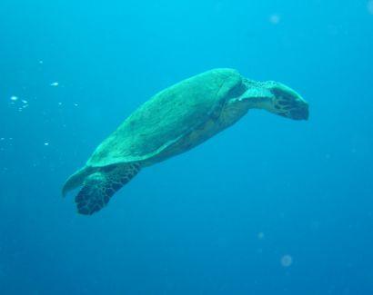 Sea Turtle at the Gordon Reef, Straits of Tiran
