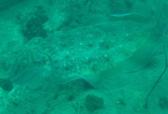 Cuttlefish found while diving outside Koh Chang
